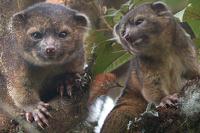 В лесах Эквадора ученые нашли «помесь енота и плюшевого мишки»