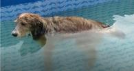 Парализованный пес из омского приюта «Друг» пошел на поправку благодаря плаванию
