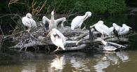 В Омске собирают деньги на восстановление островов для пеликанов