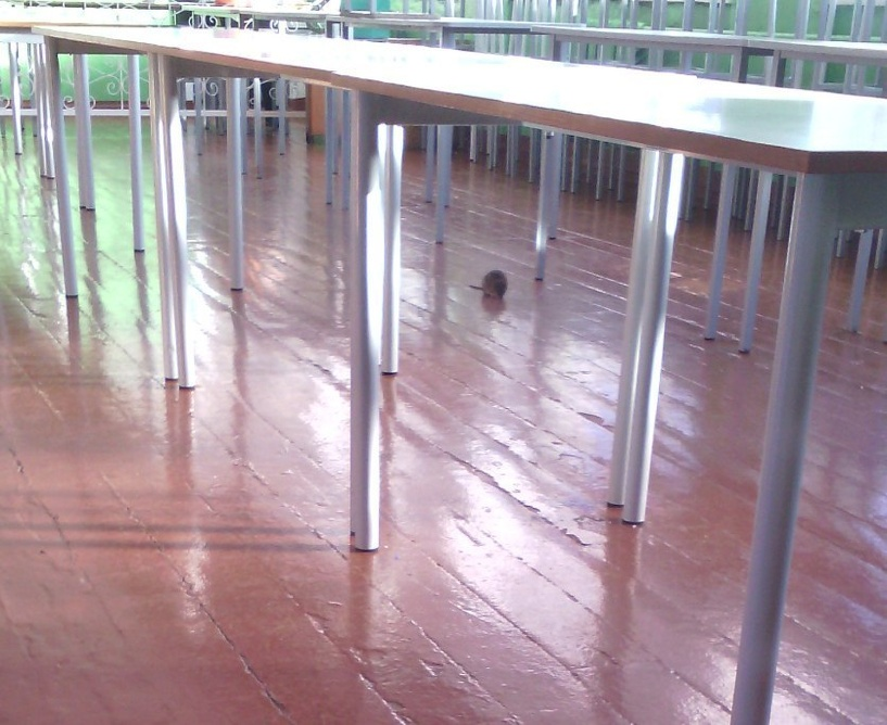 В Омске в школьной столовой нашли крысу
