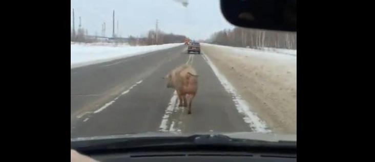 Для тех, кто в теме: омский поросенок гуляет по дороге