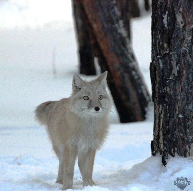 Омичи нашли в парке имени 30-летия ВЛКСМ степную лису