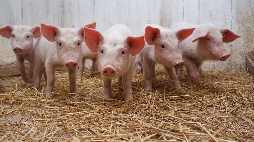 В Омске из-за африканской чумы пересчитают свиней