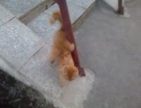 На Урале живет восьмилапый рыжий кот
