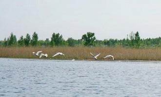 13 белых лебедей облюбовали «Птичью гавань»