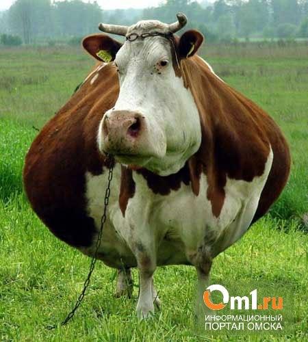 Назаров вложит в омских коров более 600 млн рублей
