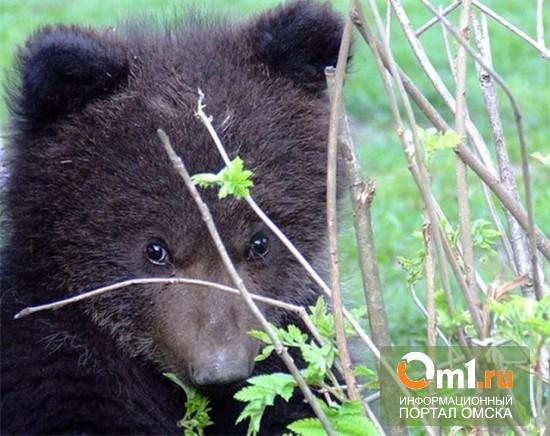 В Омске медведь оказался заперт в микроавтобусе
