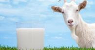 В омских магазинах начнут торговать местным козьим молоком
