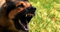 В Омской области собака напала на 12-летнего мальчика