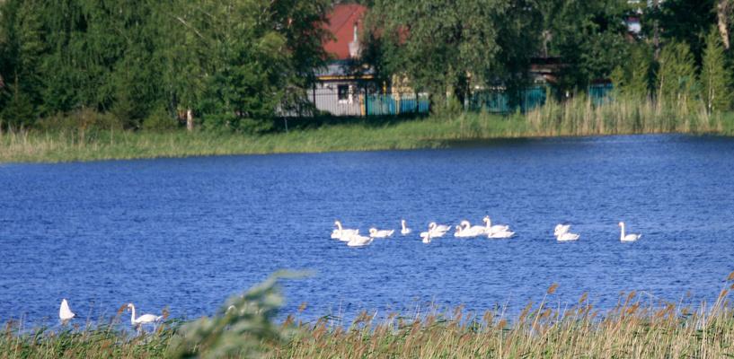 В «Птичью гавань» в центре Омска прилетела «молодёжная стая лебедей»