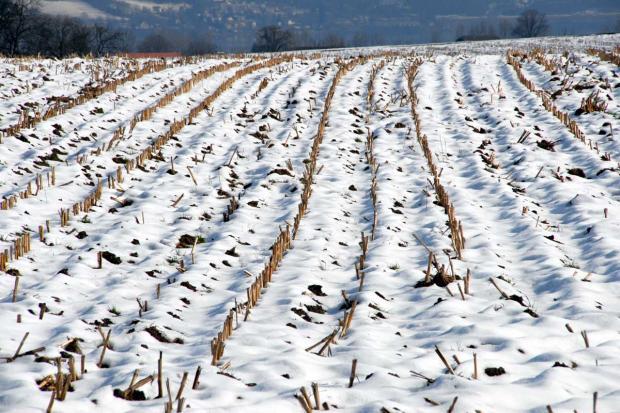 Более 50 тысяч гектаров омского зерна непригодны для хлеба