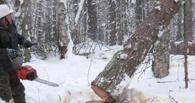 В Омской области под поваленным деревом погиб лесоруб