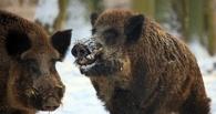 В Омской области браконьеры убили 6 кабанов