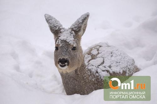 В Омской области банда браконьеров подстрелила еще 13 косуль