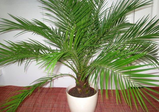 Омич украл из магазина пальму, чтобы подарить ее молодоженам