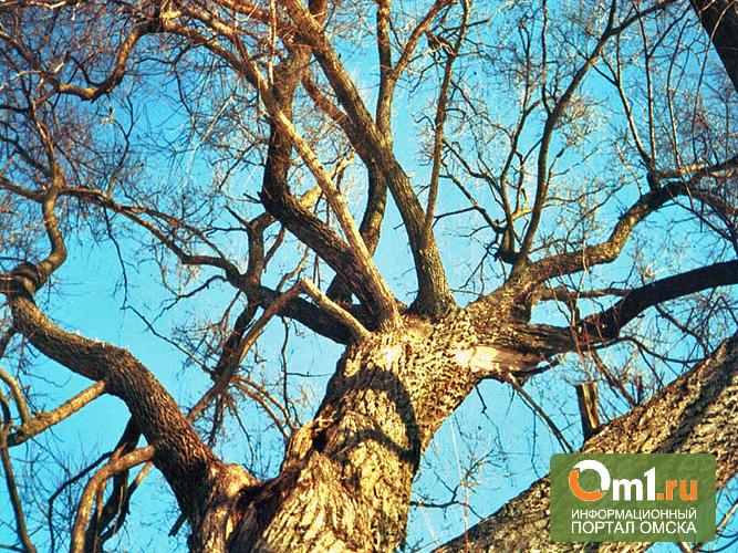 На Левобережье Омска мэрия выпилит 1100 старых деревьев
