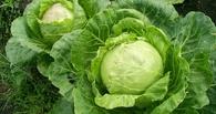 Омские власти просят «заморозить» цены на гречку и капусту
