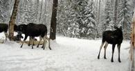 В Омской области нашли в лесу простреленную голову лося