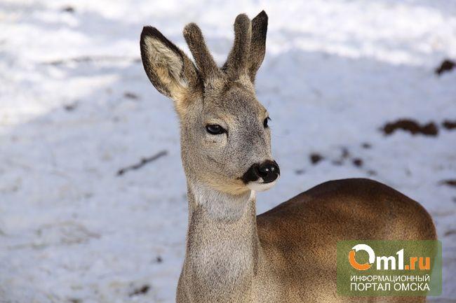 В Колосовке ищут охотников, подстреливших еще двух косуль