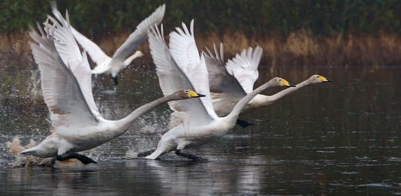 Омский охотник застрелил краснокнижных лебедей