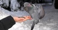 В Омске неизвестные травят голубей крысиным ядом