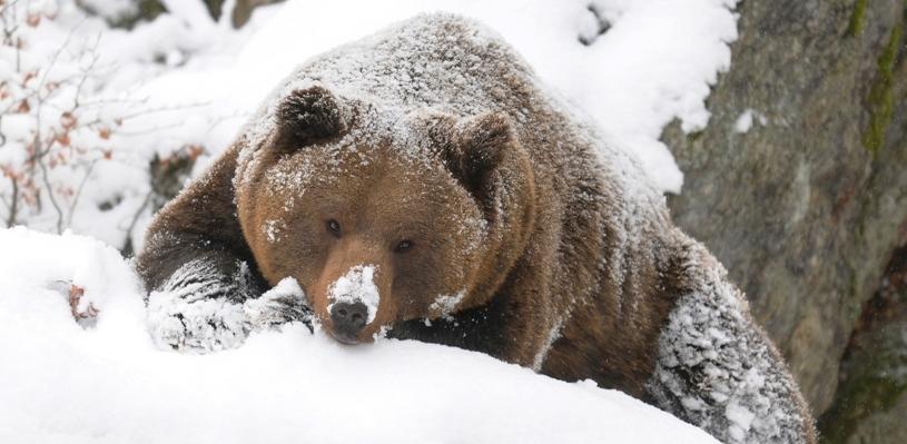 В Омской области вышел из зимней спячки первый медведь