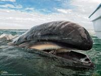 ООН запретила Японии охотиться на китов
