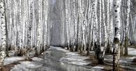 В Омске «черные» лесорубы спилили берез на 5 миллионов рублей