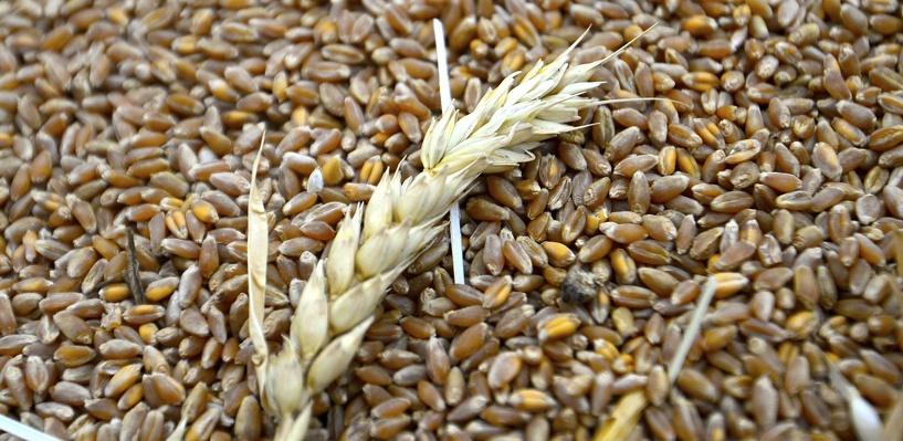 Омичи продали государству 220 тысяч тонн зерна
