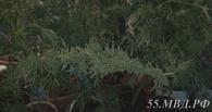 Омич в гараже выращивал коноплю - ФОТО