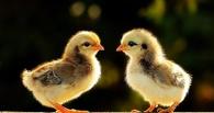 В Омской области жителям села бесплатно раздали цыплят