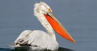 В Омской области начали восстанавливать острова для пеликанов