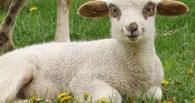 В Омскую область хлынул поток «серого» скота из Казахстана