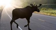 На трассе Омск - Тюмень водитель Nissan сбил лося