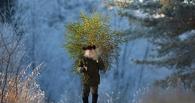 В Омской области пожилую женщину задержали за рубку сосен