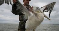 В Омской области охотники убили двух пеликанов из Красной книги