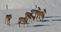 В Омской области браконьеры застрелили 5 косуль