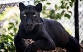 Уникальному черному леопарду омского зоопарка исполняется 6 лет