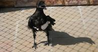 В Омск привезли раненого ворона из Ачинска