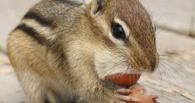 В Омской области бурундуки вешаются из-за нехватки питания