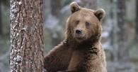 В Омской области медведь избавился от лесной камеры, пугающей его по ночам