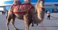 Одним из олимпийских факелоносцев в Челябинске станет верблюд