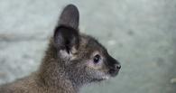 В экоцентре в Омске появился мангуст и кенгуру