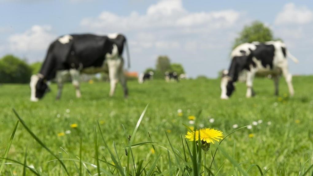 Вместо свиней омичам предлагают разводить коров, овец и нутрий
