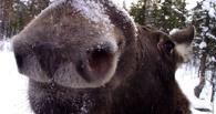 В Омской области охотники застрелили беременную лосиху