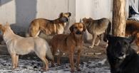 В Омске стая бездомных собак едва не напала на 10-летнего мальчика