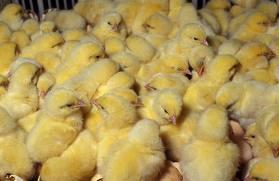 У жителя Омской области сгорело 300 гусят и 750 цыплят
