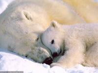 За убийство белых медведей будут сажать в тюрьму на 7 лет