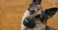 Немецкая овчарка помогла омским полицейским раскрыть кражу