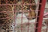 В клетке с хищником: репортаж из-за кулис омского цирка